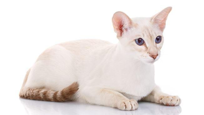 All About Colorpoint Shorthair Cats