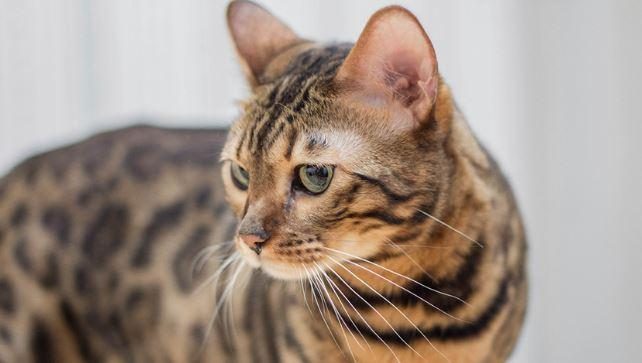 5 Reasons California Spangled Cats Make the Best Pets