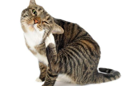 Five Ways to Treat Your Cat's Fleas Naturally   PrettyLitter
