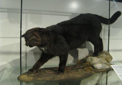 Myths and Facts About the Kellas Hybrid Cat