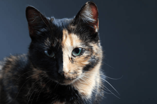 A Fun Guide to Tortoiseshell Cats
