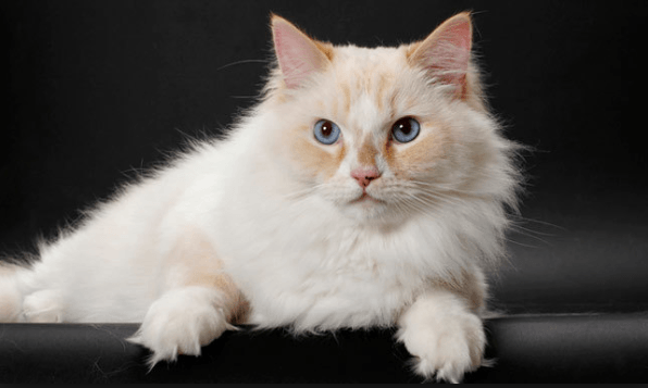 Five Amazing Facts about Ragamuffin Cats