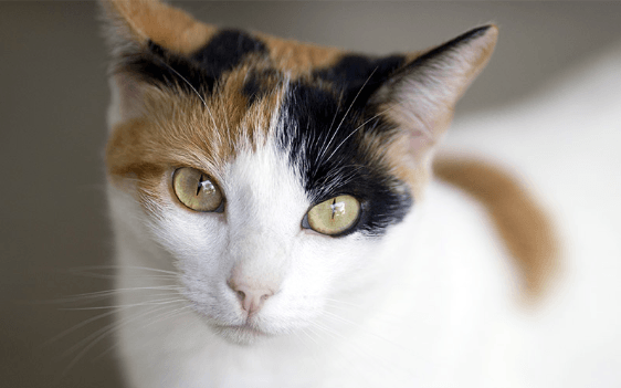 A Comprehensive Guide to Calico Cats