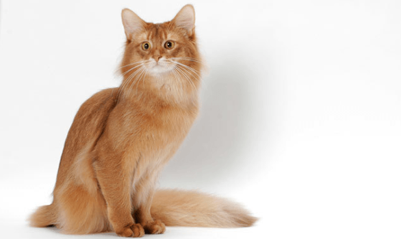 All About Somali Cats