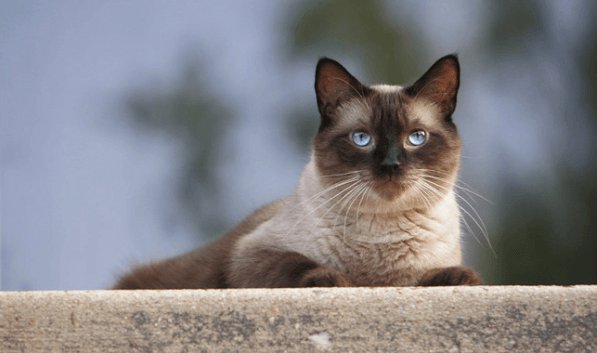 Everything You Need To Know About Siamese Cats
