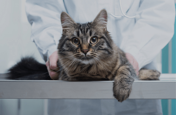 Cat Spaying 101: The Whats, Whens, Whys, and Hows You Need to Know