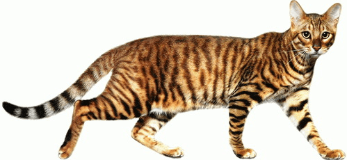 Toy Tigers: Why Toyger Cats Are In Demand   PrettyLitter