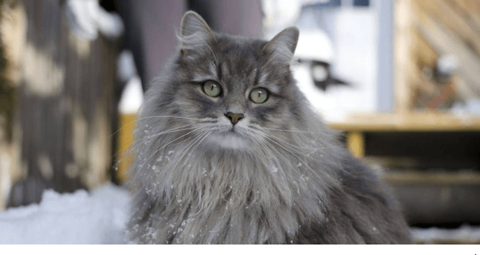 Siberian Cats: Cute Forest Hunters