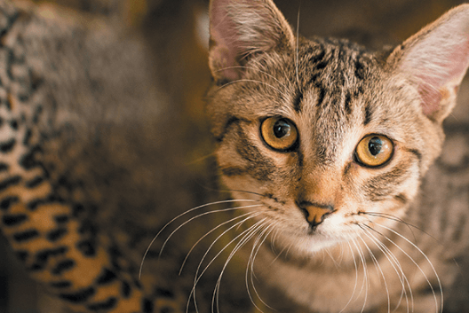 Your Guide to Tabby Cats