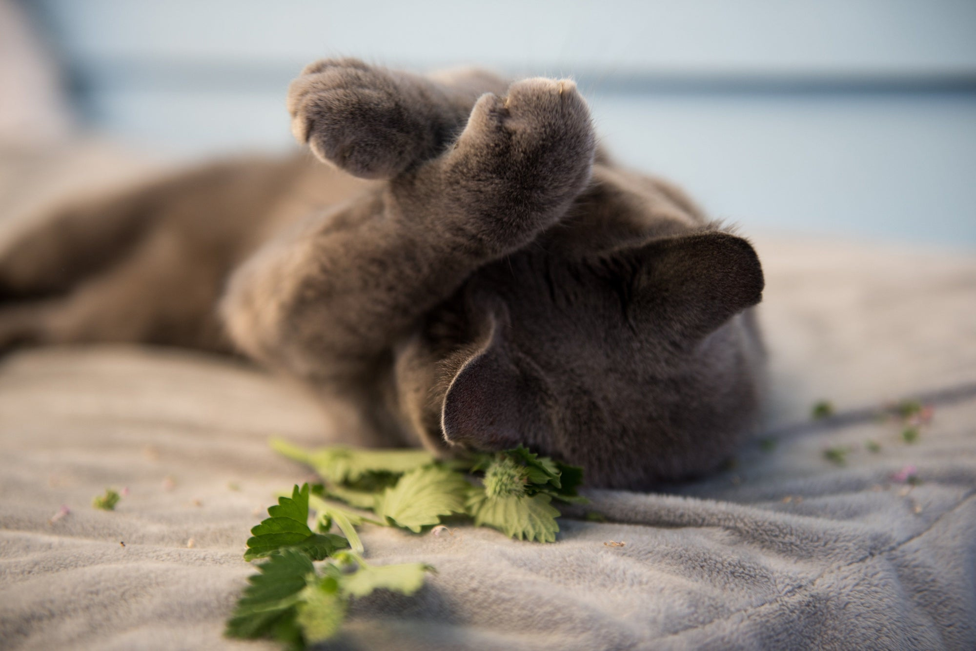 What's the Deal with Cats and Catnip or Silver Vine?