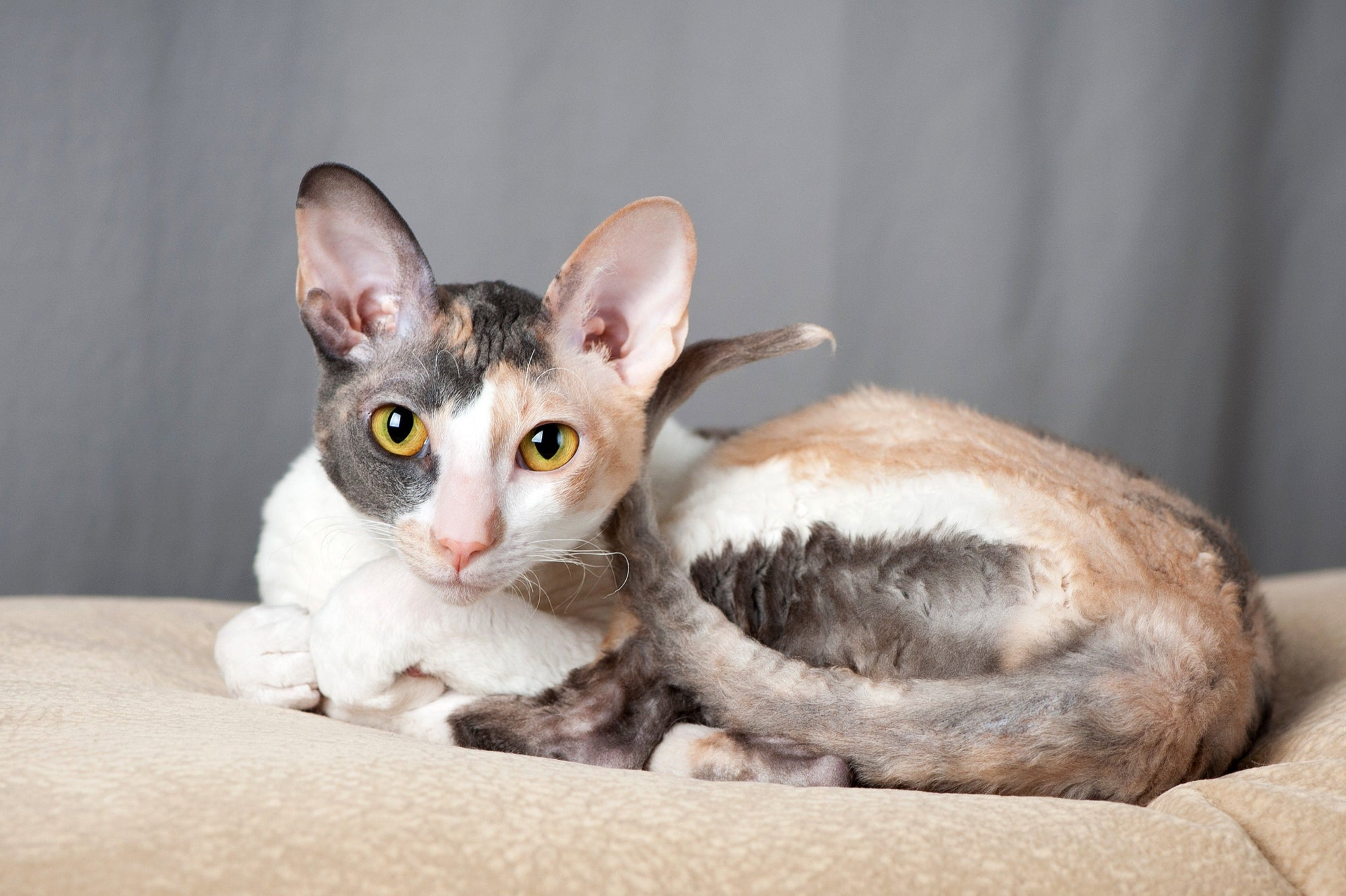 Everything to Know About The Cornish Rex Cat