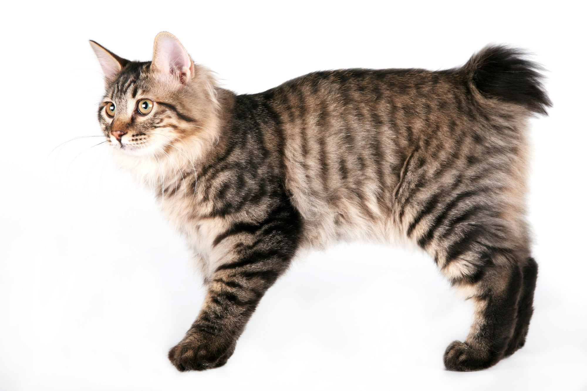 Heard About The Kurilian Bobtail Cats?