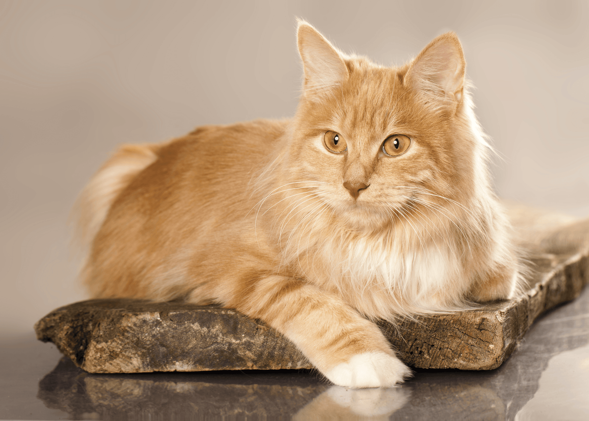 Everything You Need to Know About the Kurilian Bobtail Cat