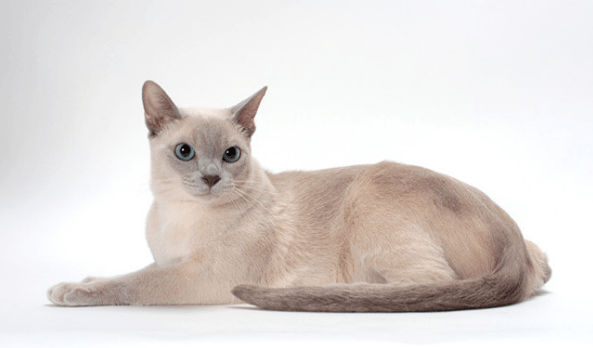 Your Guide to Tonkinese Cats