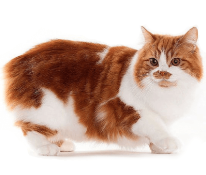 Everything You Need to Know About The Cymric Cat