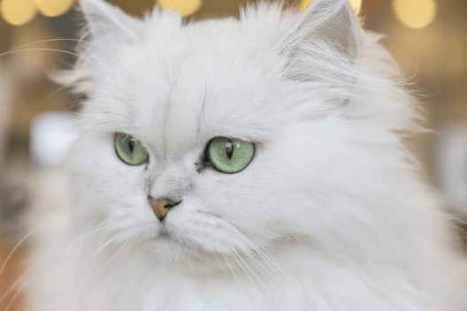 Traditional Persian Cat Basics