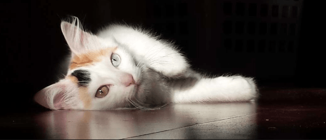 Everything You Need to Know About Turkish Van Cats