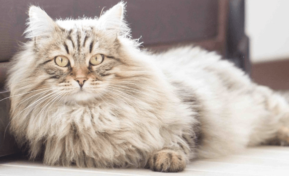 A Guide to Domestic Long-Haired Hybrid Cats
