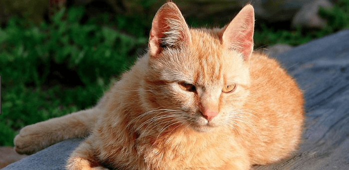 Your Guide to Brazilian Shorthair Cats