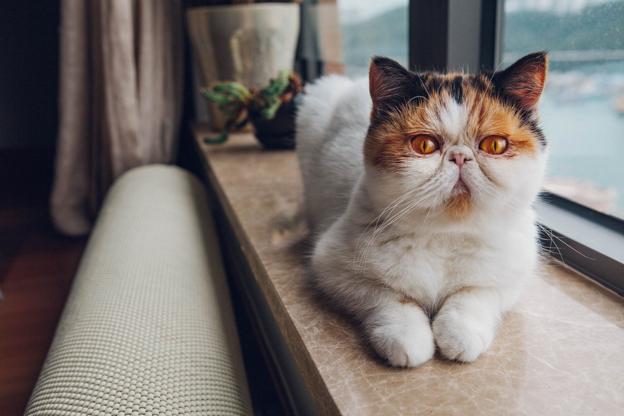 Special Health Considerations for Flat-Faced Cats