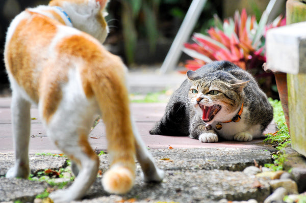 How to Humanely Deal with Feral Cats - PrettyLitter