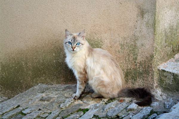 Balinese Cat Outside