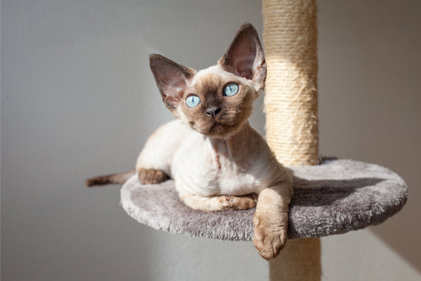 Blue Eyed Devon Rex Cat