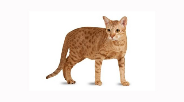 4 things to know about the ocicat cat prettylitter