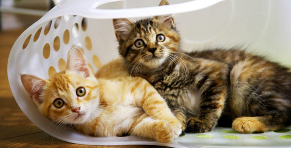 two kittens in laundry basket