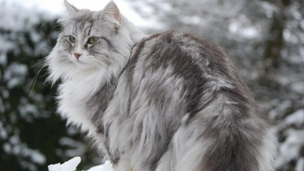 Norwegian Forest Cat in Snowy Forest