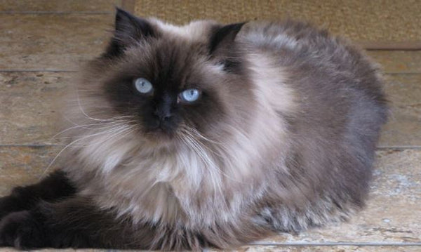 himalayan cat laying on floor