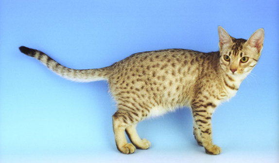 grey and black ocicat