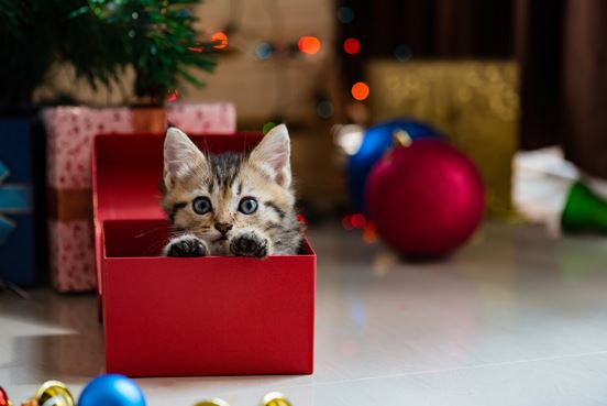 cat in christmas present box