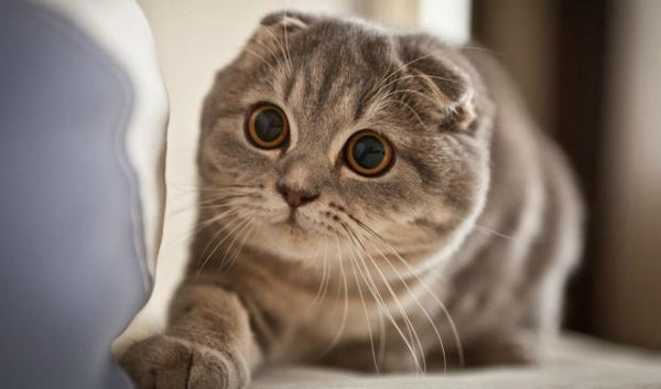 grey striped scottish fold cat