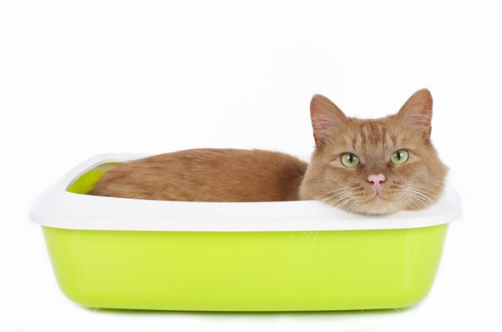 Cat in Lime Green Litter Box