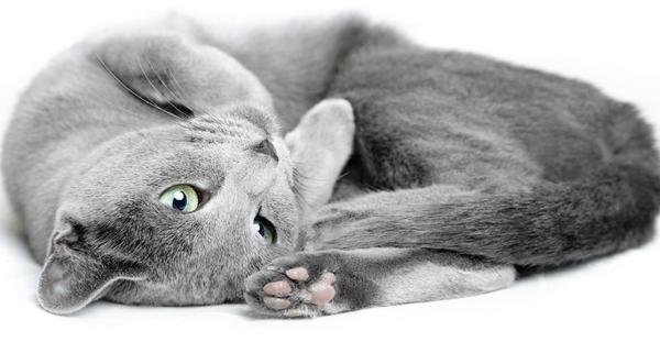 Russian Blue Laying Down