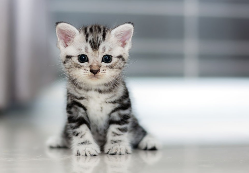 Grey Striped Kitten
