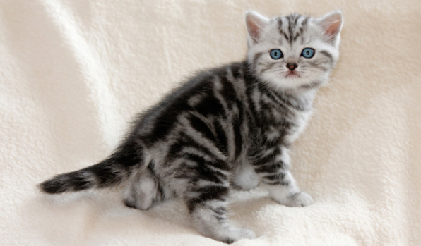 A Guide to British Shorthair Cats | PrettyLitter