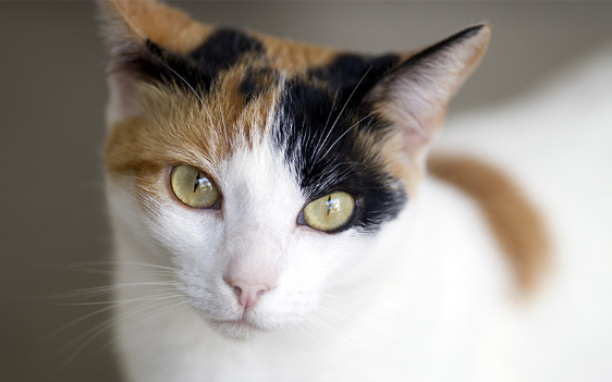 Calico Cat Looking Into Camera