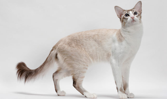 javanese cat on white background