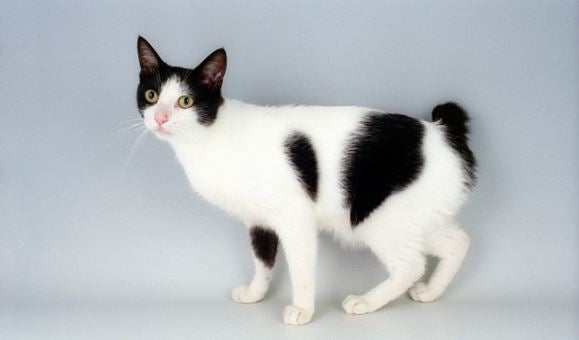 cow bicolor cat