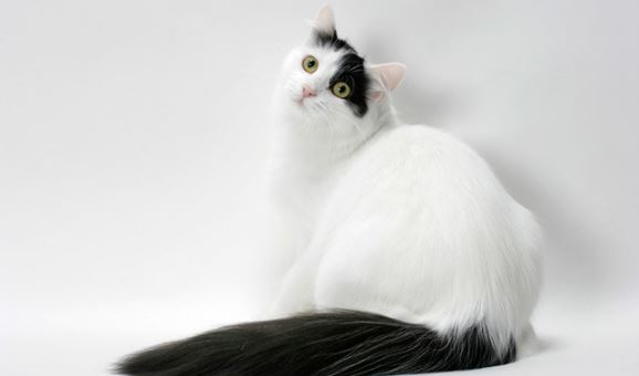 turkish van hybrid cat