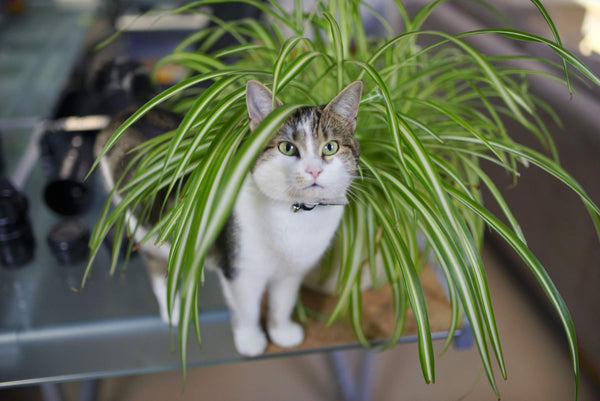 Cat and Spider Plant - PrettyLitter