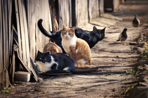 How To Humanely Deal With Feral Cats Prettylitter