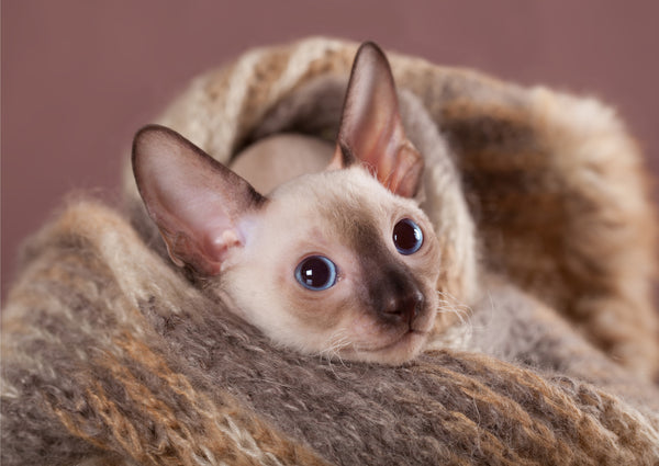 Cornish Rex Kitten in Blanket
