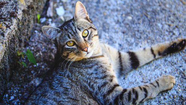 european shorthair cat basics prettylitter