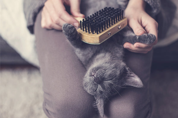 Grey Cat Being Brushed