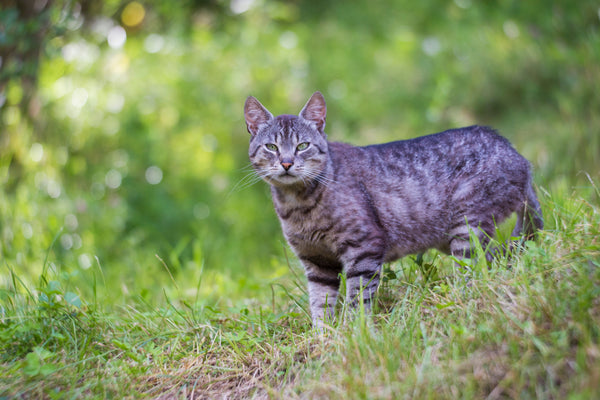 Manx Cat Hunting