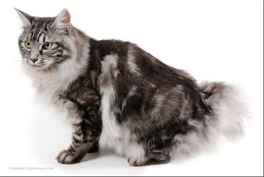 Grey and Black Kurilian Bobtail Cat