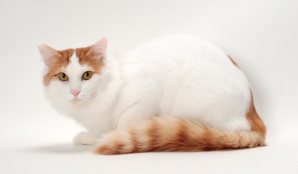 acd3cf9dc4 Turkish Van Cats